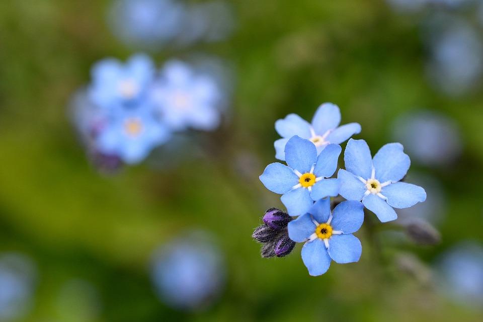4/5誕生花の勿忘草、花言葉は真実の愛、私を忘れないで