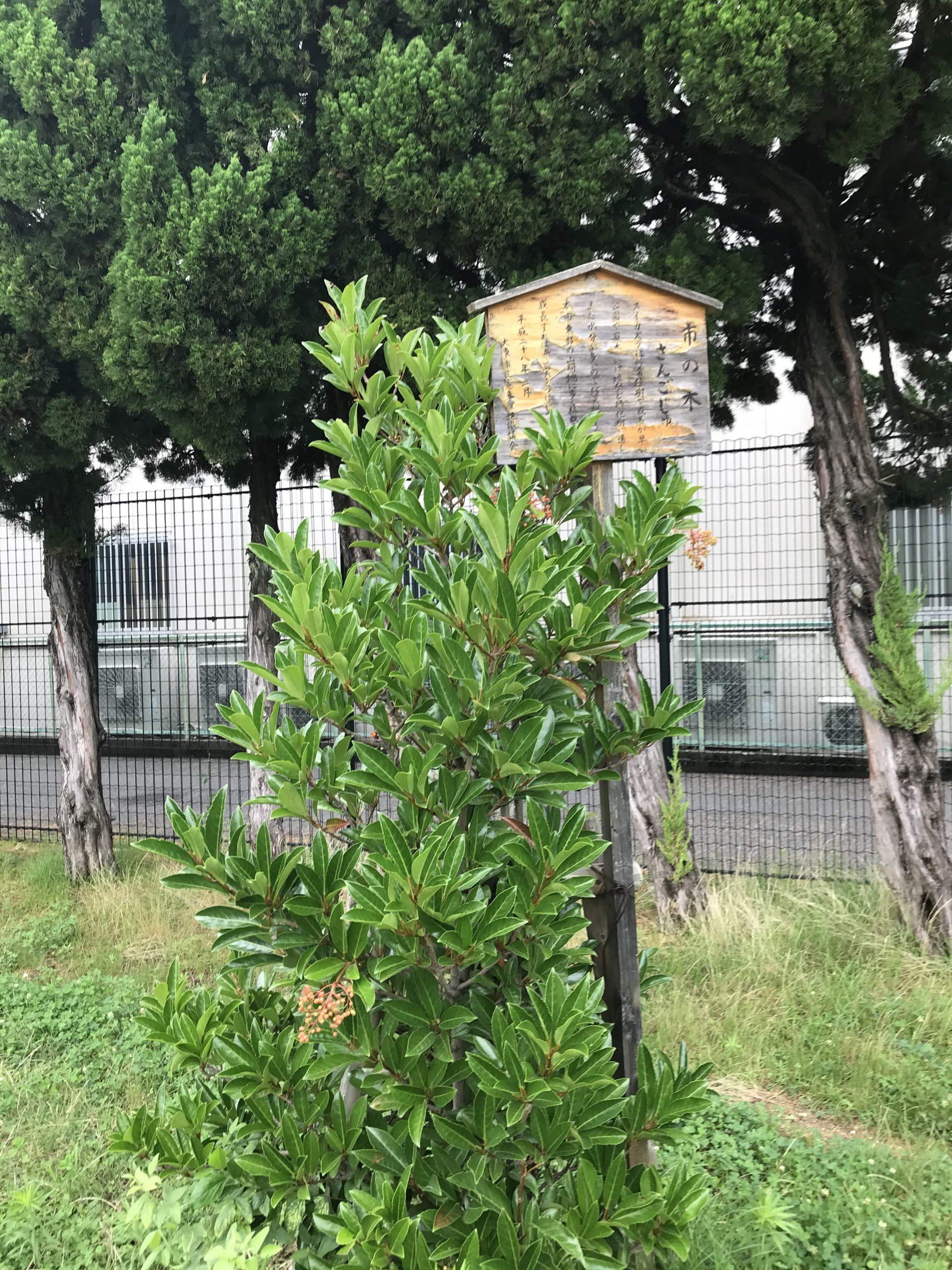 灰塚公園内のさんごじゅ